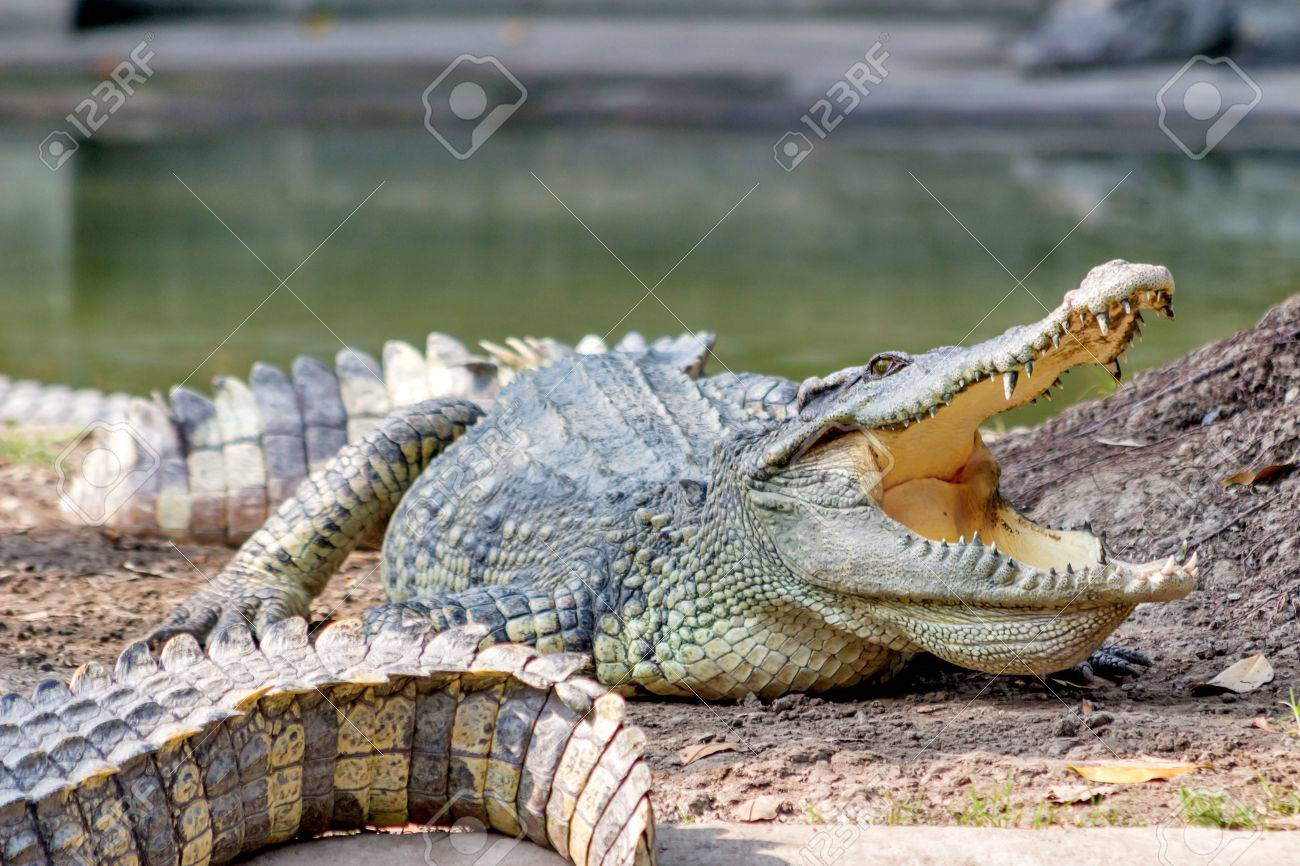 crocodile in the zoo Thailand Stock Photo - 25304988