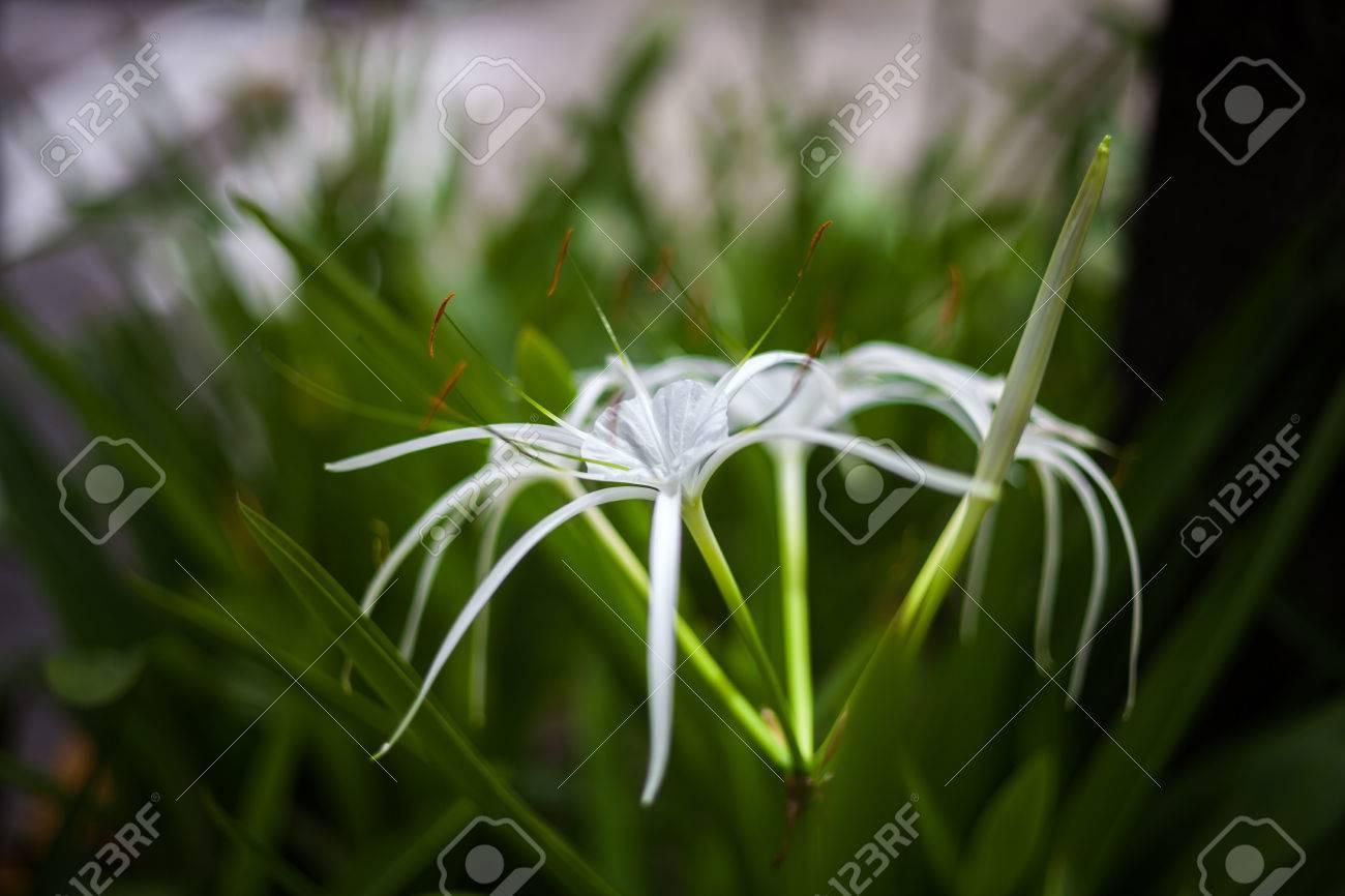 White spider lily flower hymenocallis littoralis stock photo white spider lily flower hymenocallis littoralis stock photo 32120641 izmirmasajfo Image collections