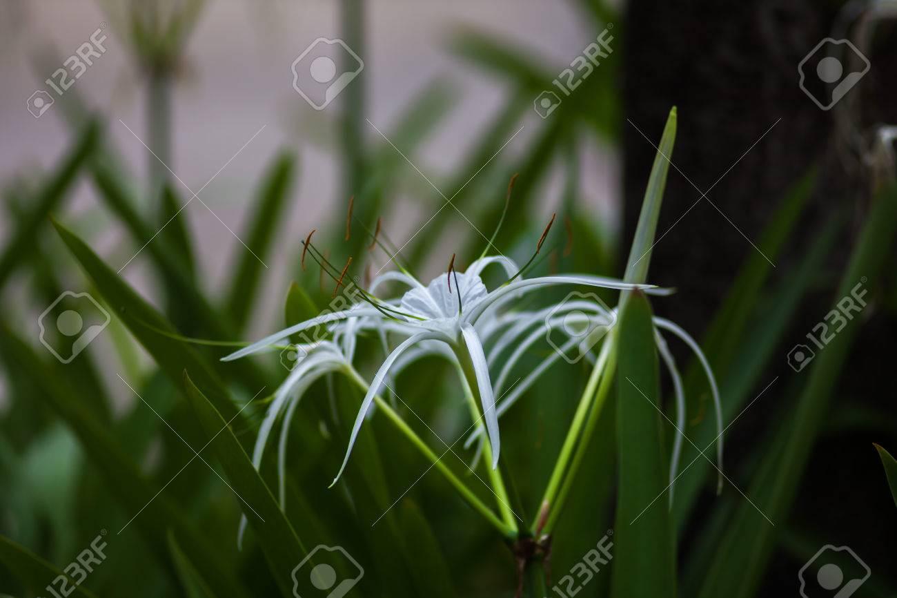 White spider lily flower hymenocallis littoralis stock photo stock photo white spider lily flower hymenocallis littoralis izmirmasajfo Image collections