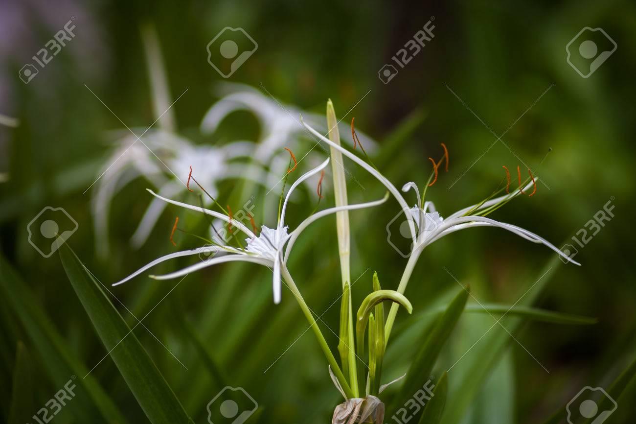 White spider lily flower hymenocallis littoralis stock photo white spider lily flower hymenocallis littoralis stock photo 32073101 izmirmasajfo Image collections