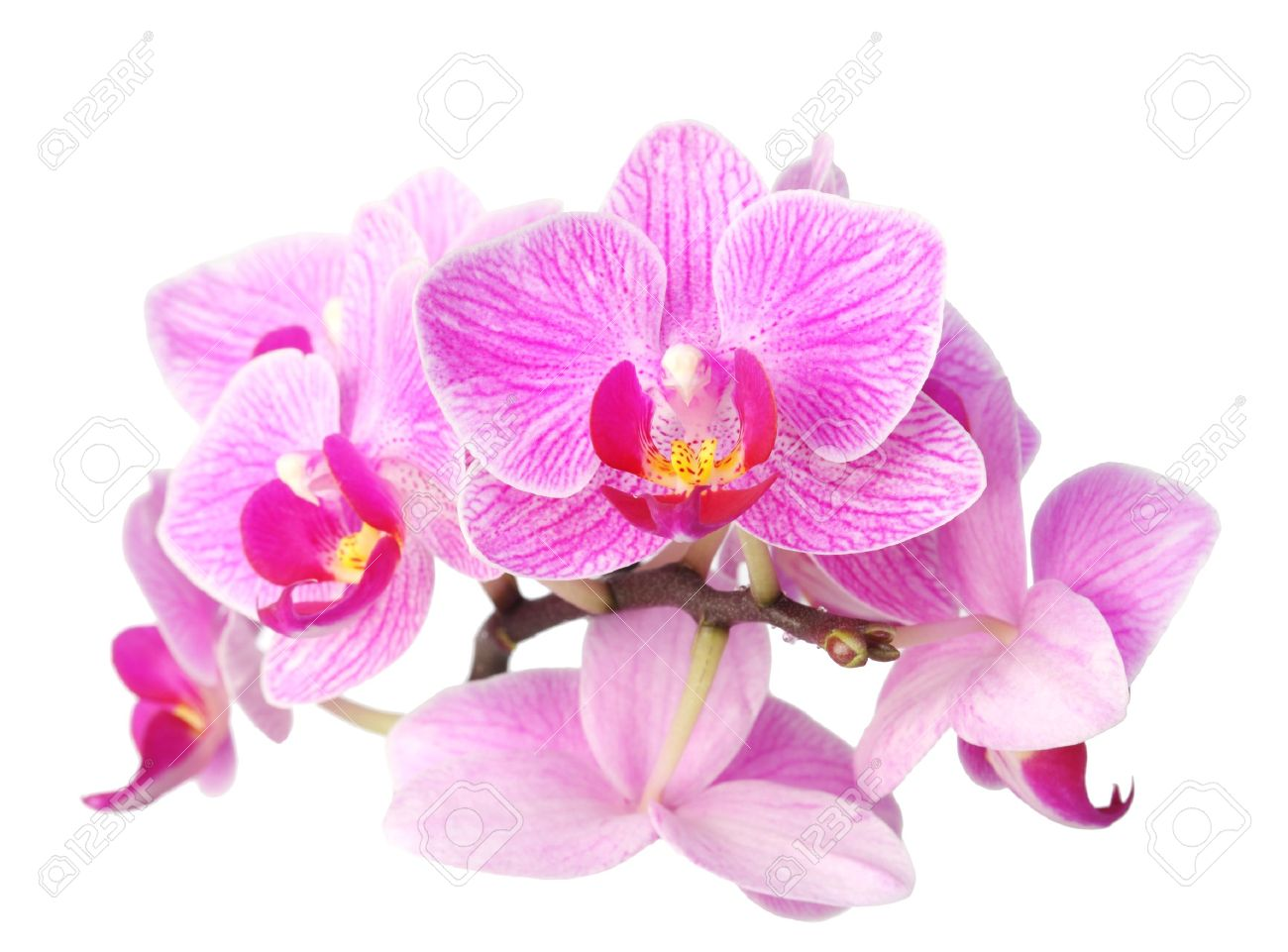 Closeup Image Of Purple Orchid Flower On White Background Stock