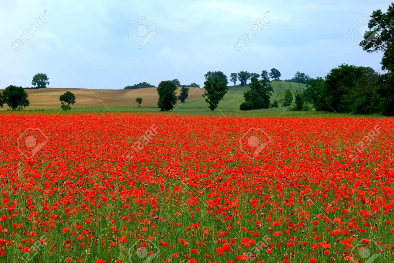 a field of poppies in france stock photo picture and royalty free