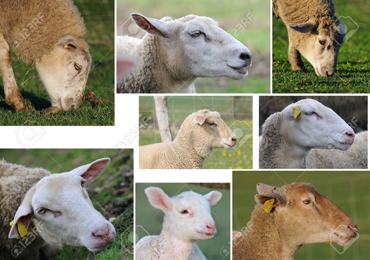 Different Sheep Head Of Profile Stock Photo