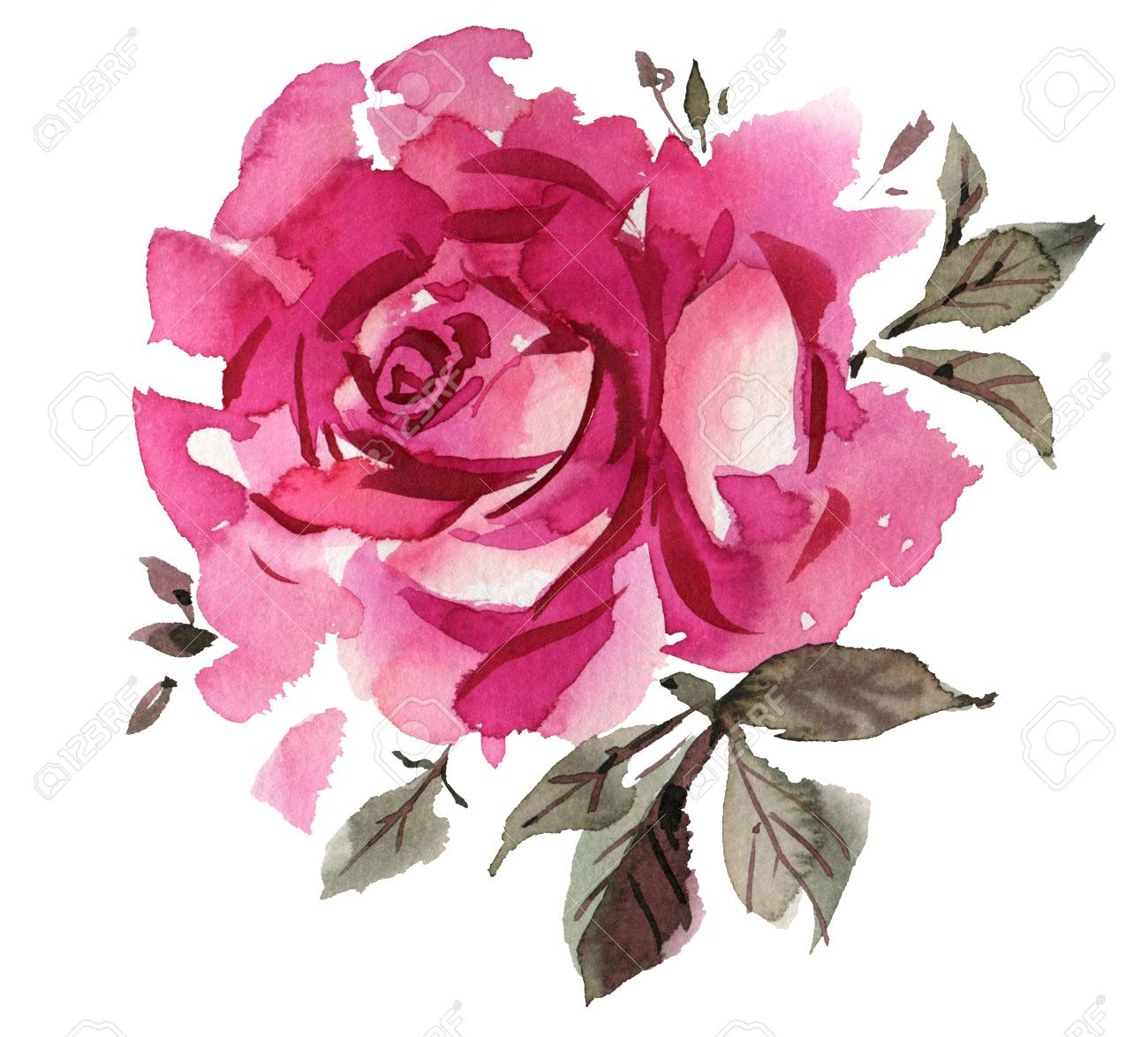 pink watercolor roses isolated on a white background hand drawn