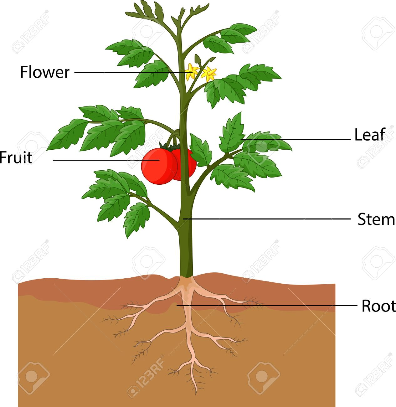 Flowering Plant Diagram Parts Of A Tomato - Anything Wiring Diagrams •