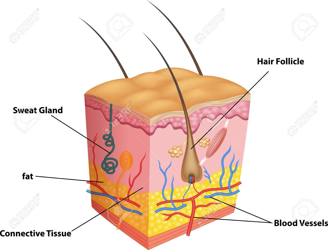 Vector Illustration Of The Layers Of Skin And Pores Anatomy Royalty ...