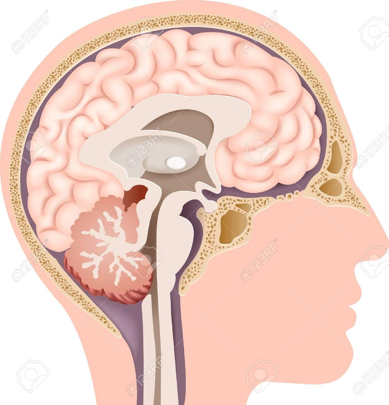 Vector La Ilustración De La Anatomía Del Cerebro Humano Interno ...
