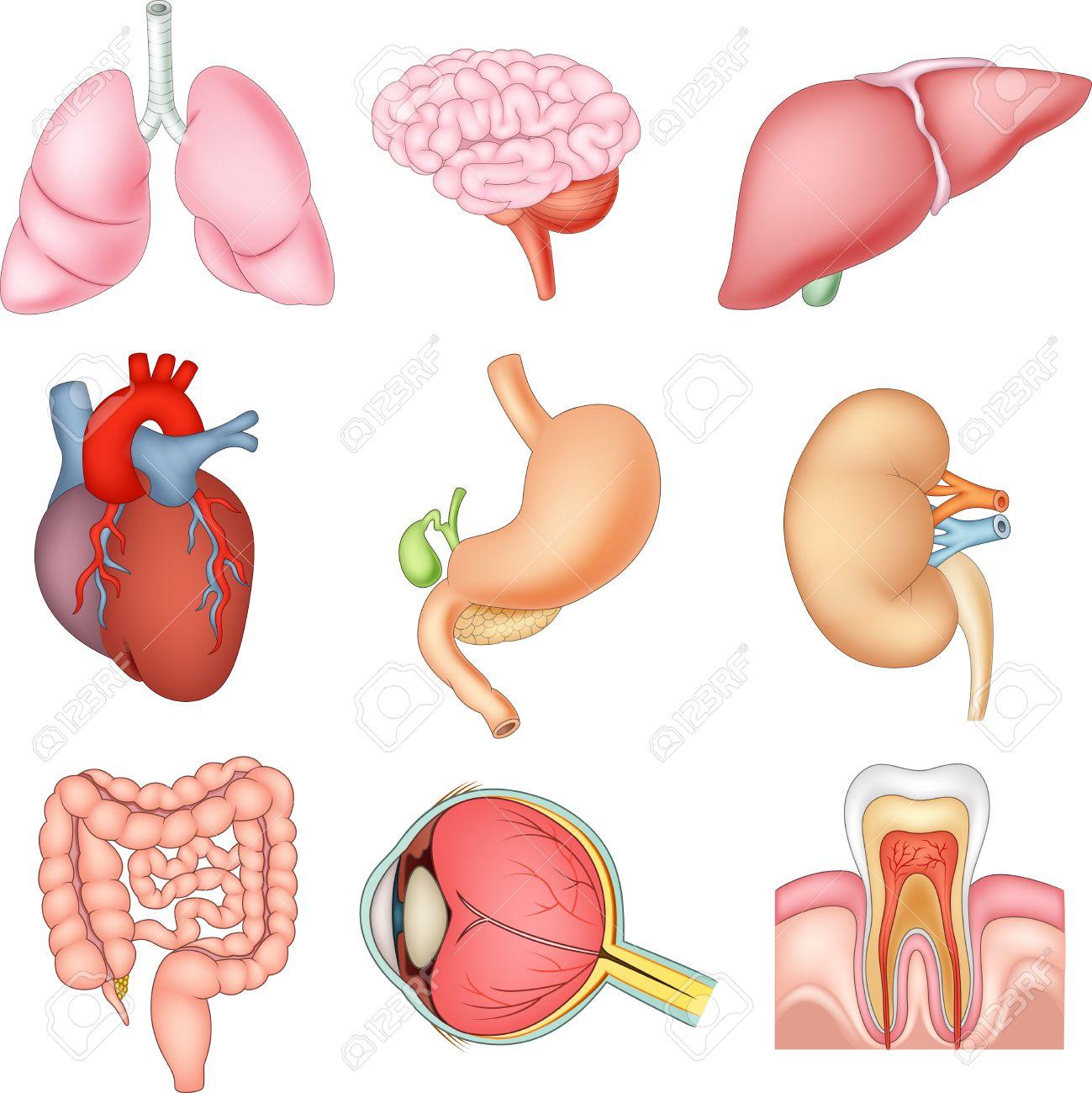 Ilustración Del Vector De Los órganos Internos Anatomía ...