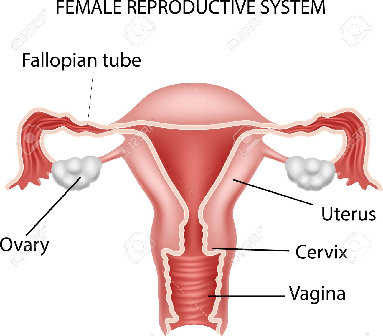 ilustración del vector del sistema reproductor femenino