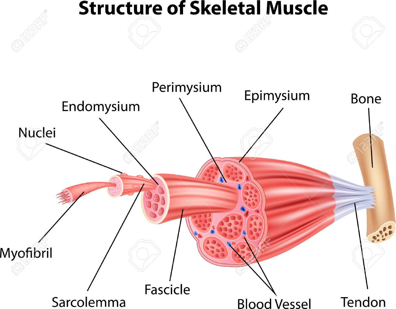 Vector Illustration Of Structure Skeletal Muscle Anatomy Royalty ...