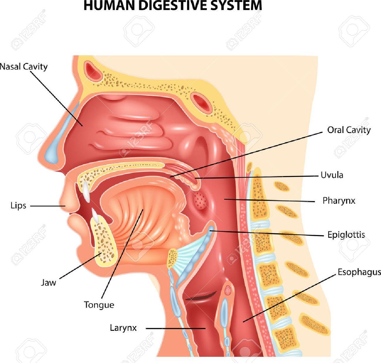Vector illustration of Human Digestive System - 55517147