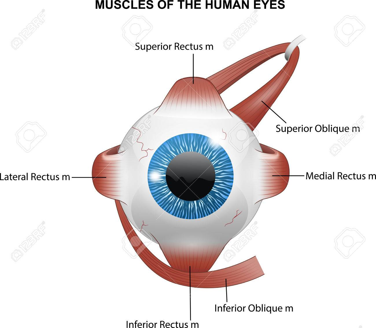 Illustration Of Muscles Of The Human Eyes Royalty Free Cliparts