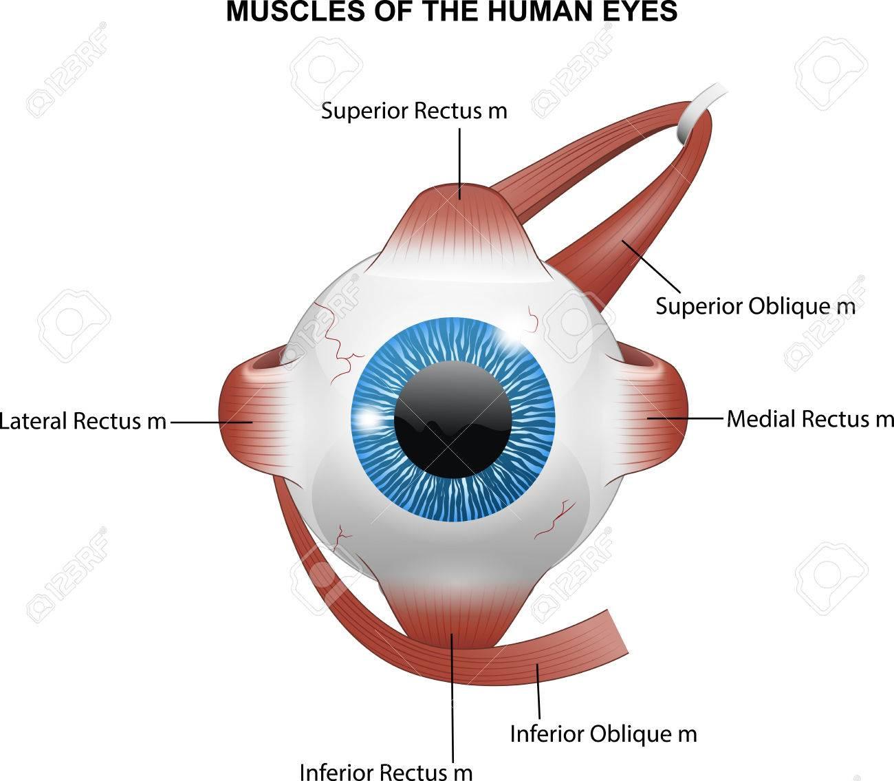 Ilustración De Los Músculos De Los Ojos Humanos Ilustraciones ...