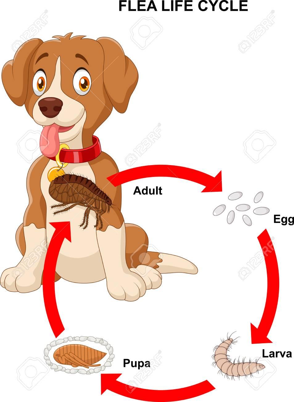Illustration of life cycle of flea - 86639270