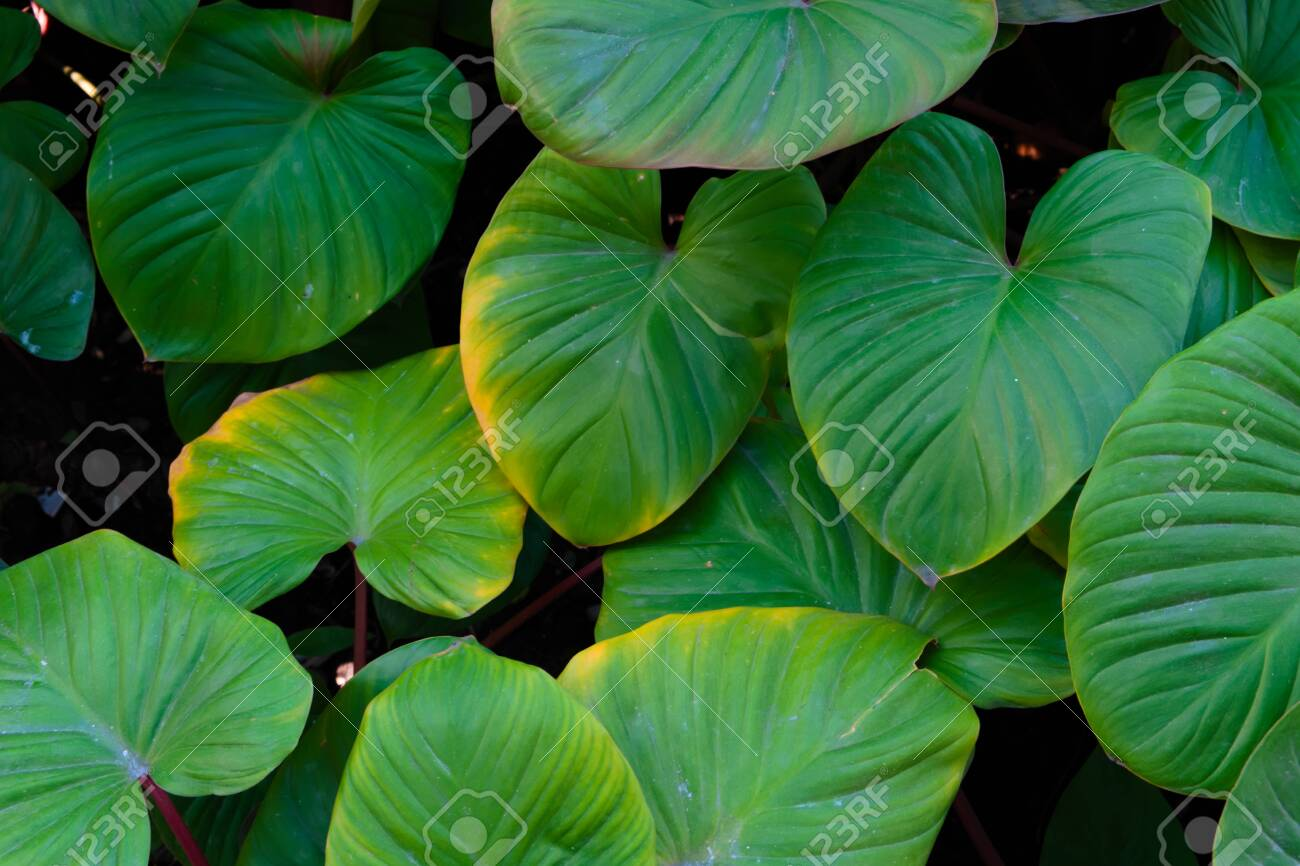 The background image of the leaves shaped like a heart is green and refreshing. - 136796469