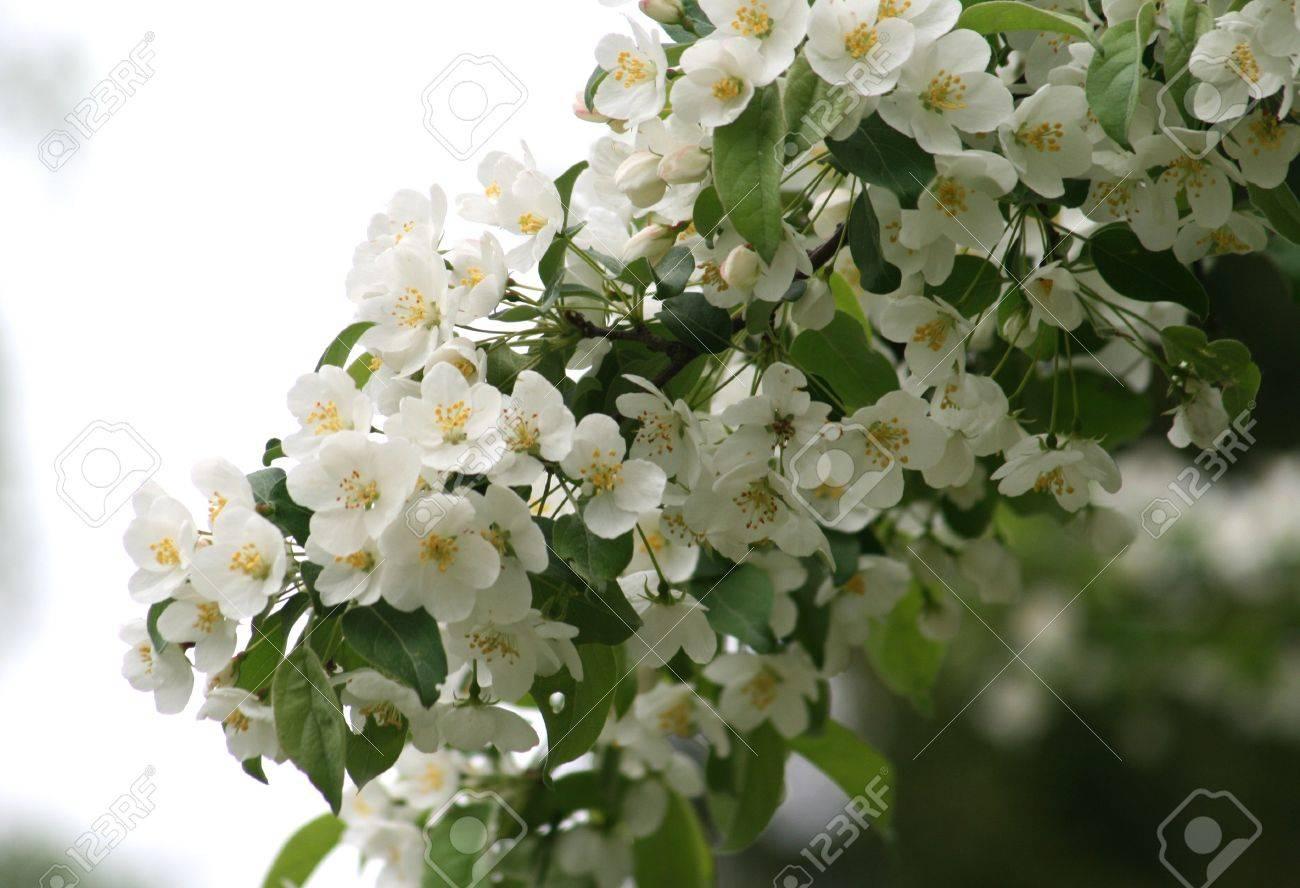 Albero Con Fiori Bianchi fioritura primaverile di albero con fiori bianchi