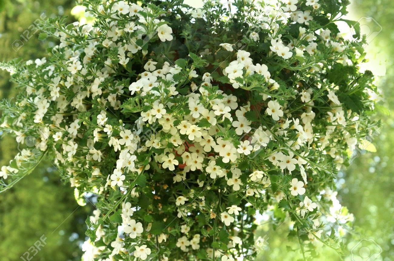 Weisse Hangende Blume Fur Haus Und Garten Und Balkon Sutera Baja