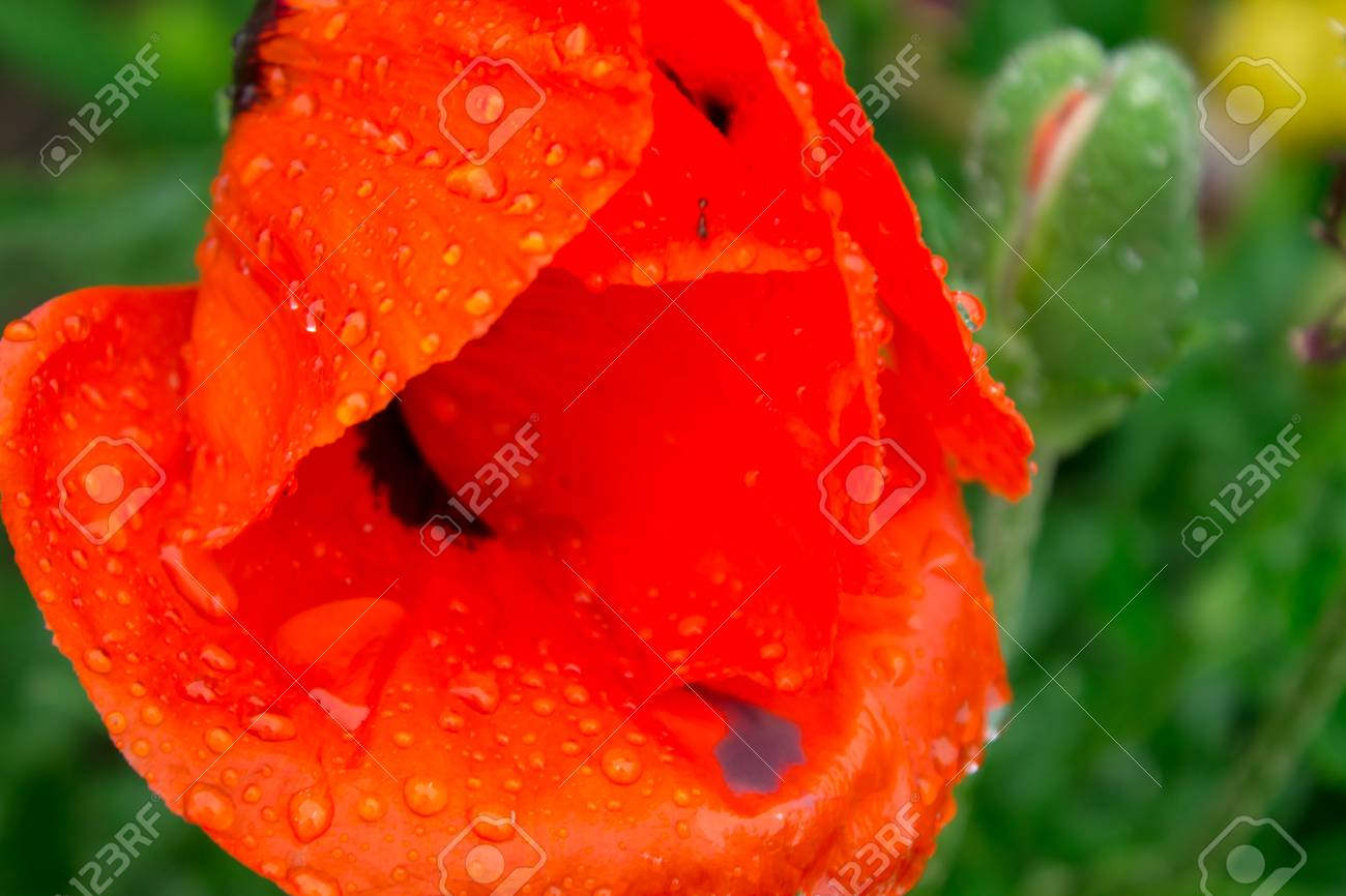 Drops Of Rain On The Folded Red Petals Of A Poppy Flower Close