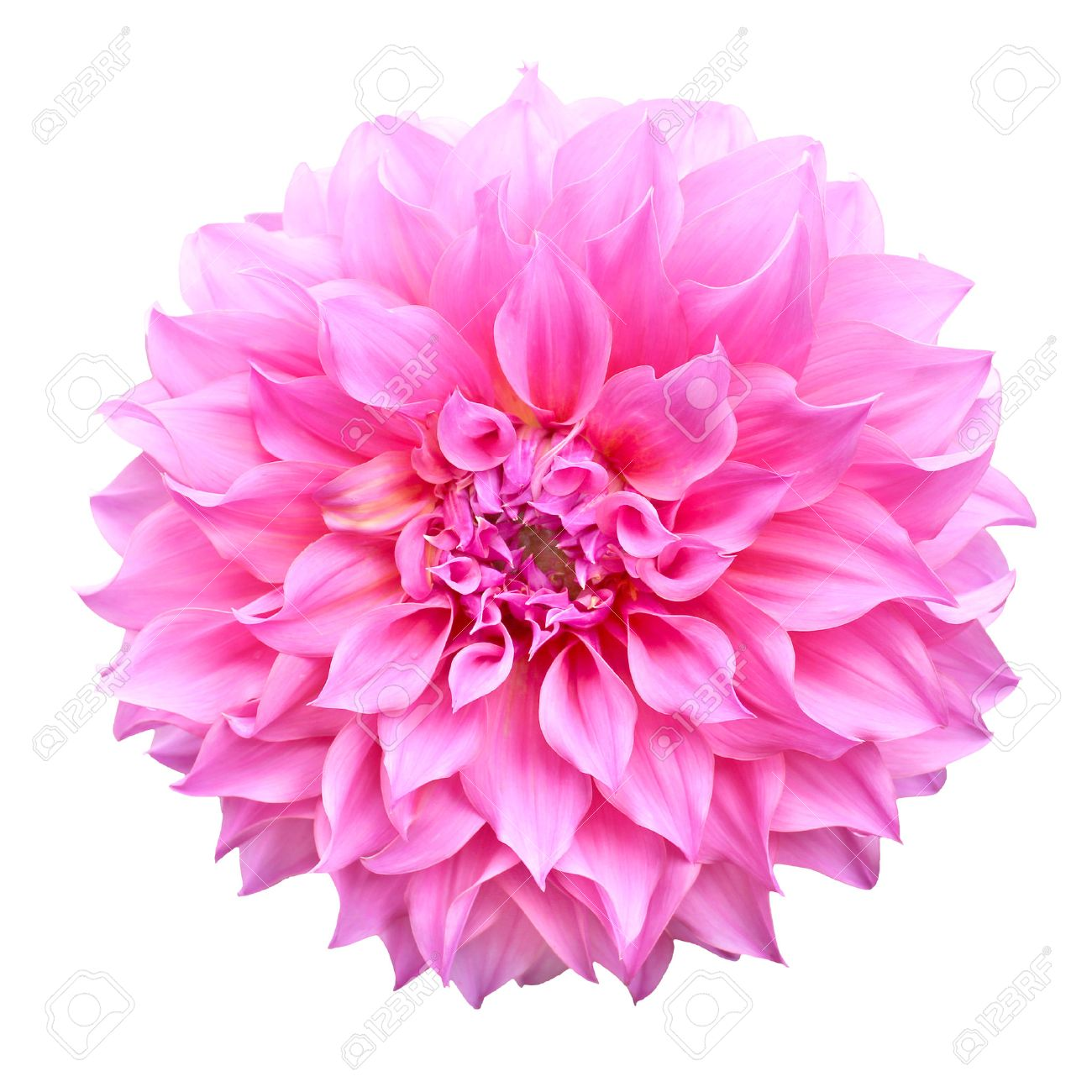 Pink dahlia flower isolated on white background stock photo picture pink dahlia flower isolated on white background stock photo 44369016 mightylinksfo