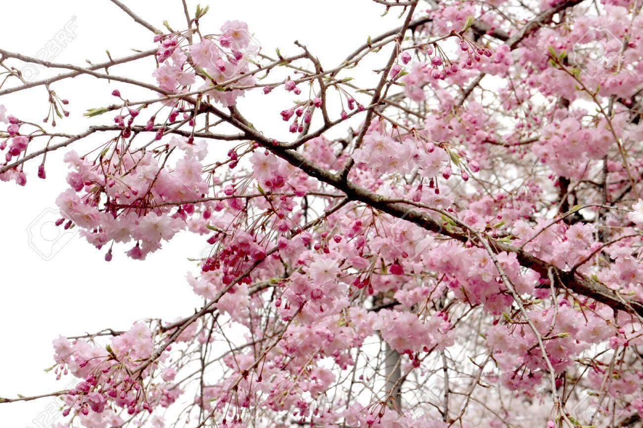 Full bloom sakura flower tree isolated pink japan flora bush full bloom sakura flower tree isolated pink japan flora bush spring floral branch on mightylinksfo