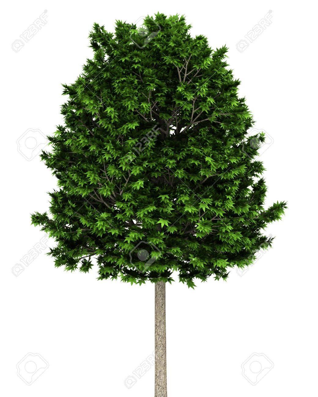 arbre platane isolé sur fond blanc banque d'images et photos libres