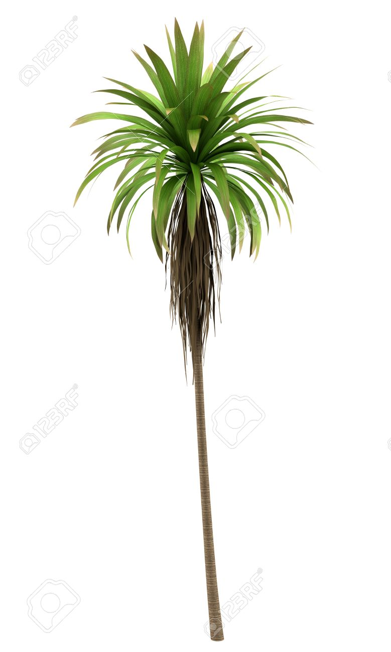 Mountain Cabbage Palm Tree Isolated On White Background Stock