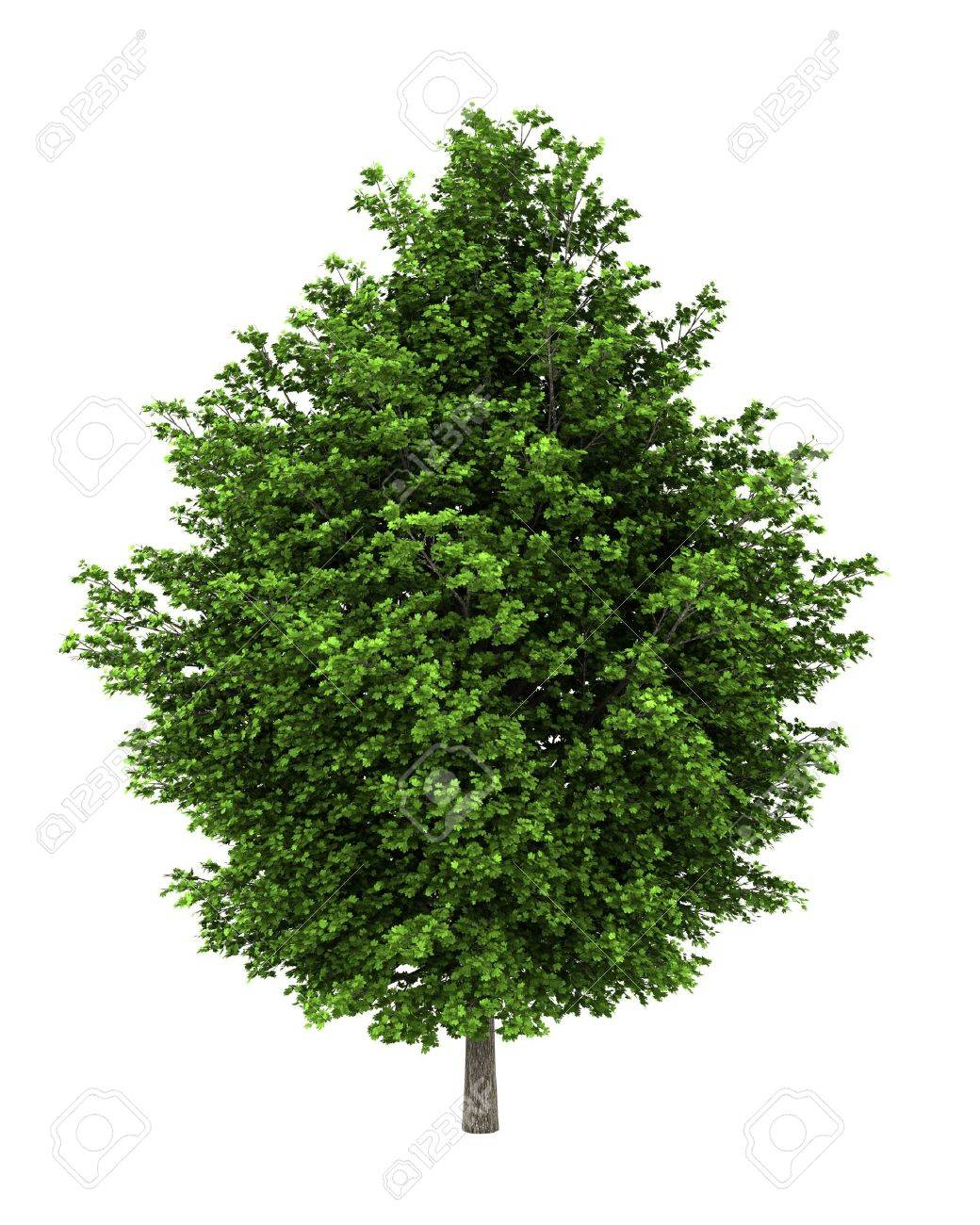 silver maple tree isolated on white background Stock Photo - 11708910