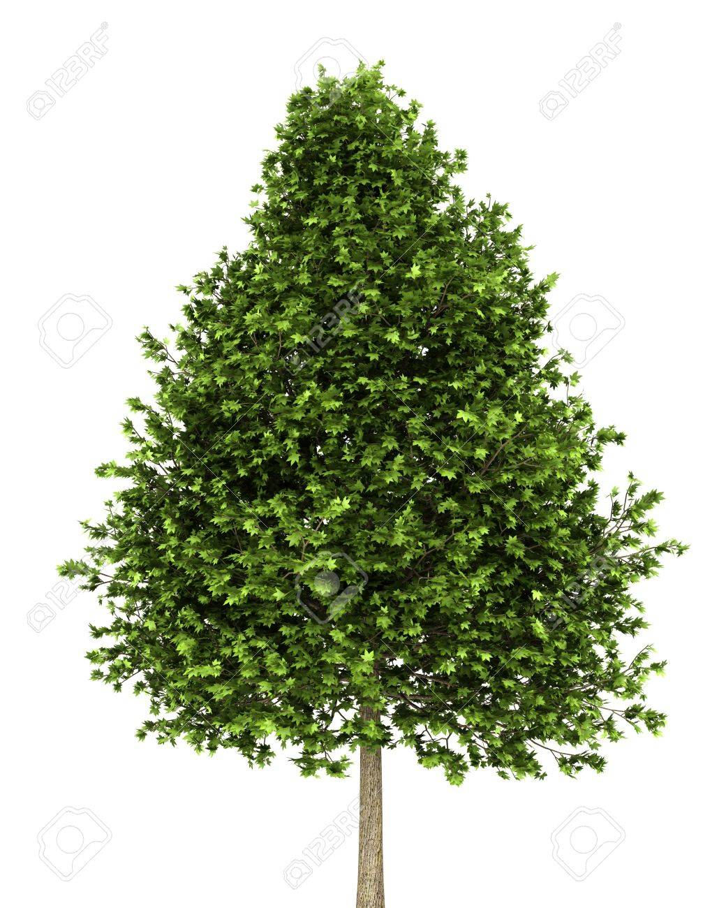 Green American Sweetgum Tree Isolated On White Background Stock Photo Picture And Royalty Free Image Image 11925909