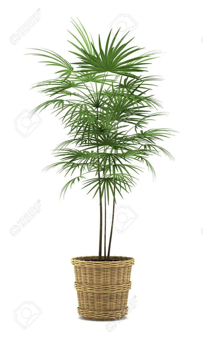 Palm In Pot.Palm Tree In Pot Isolated On White Background