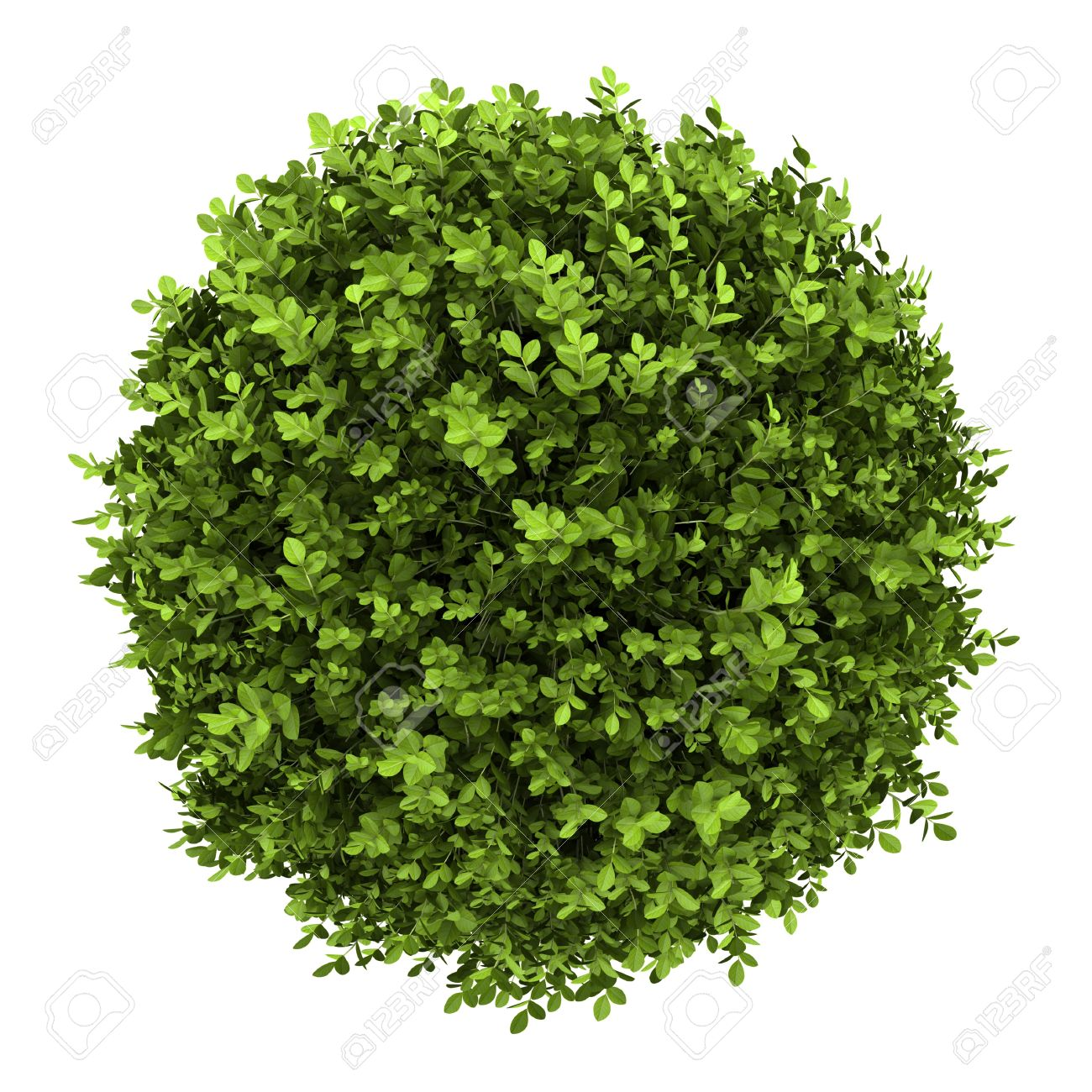 top view of dwarf english boxwood isolated on white background Stock Photo - 13797278