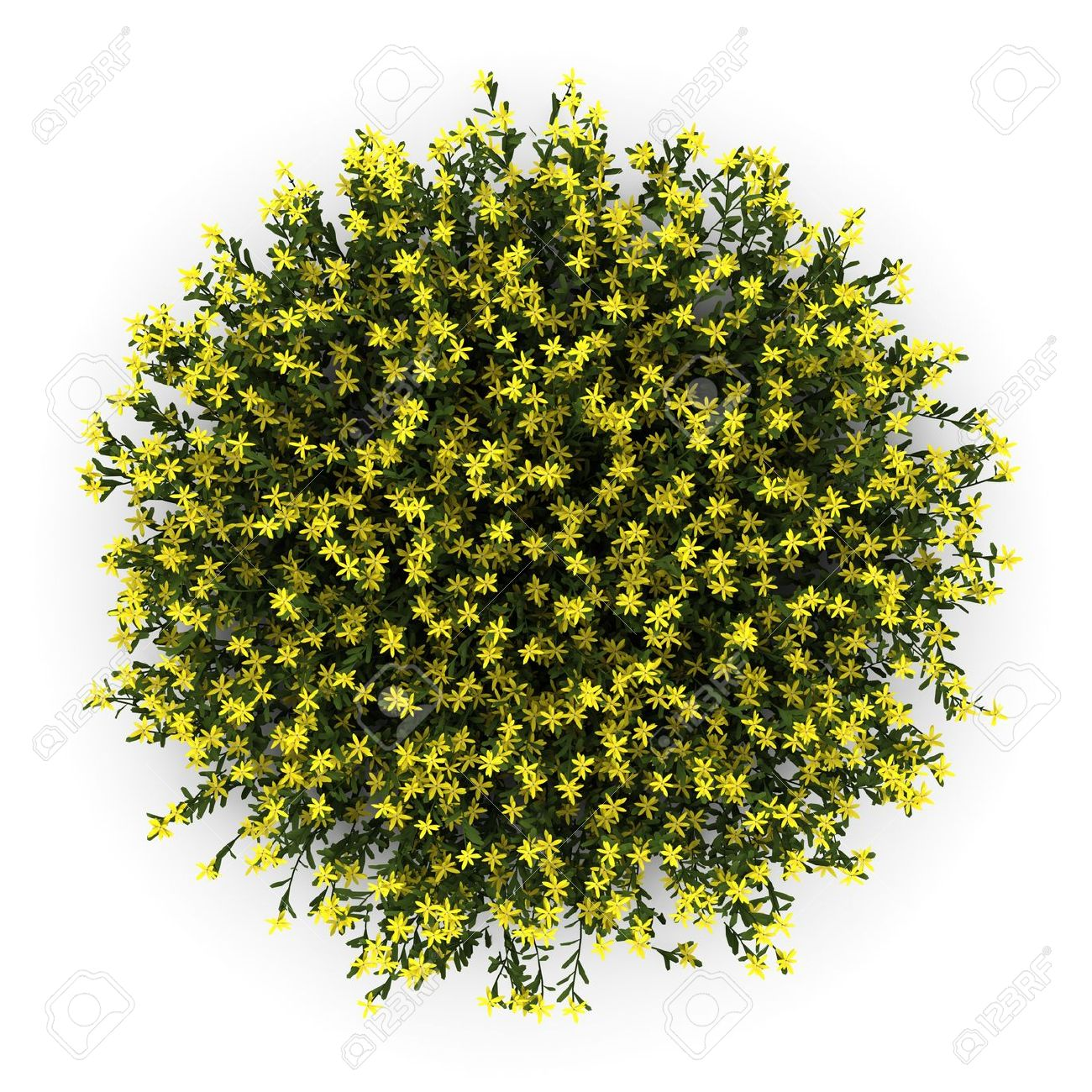 Top View Of Broom Flowers Isolated On White Background Stock Photo