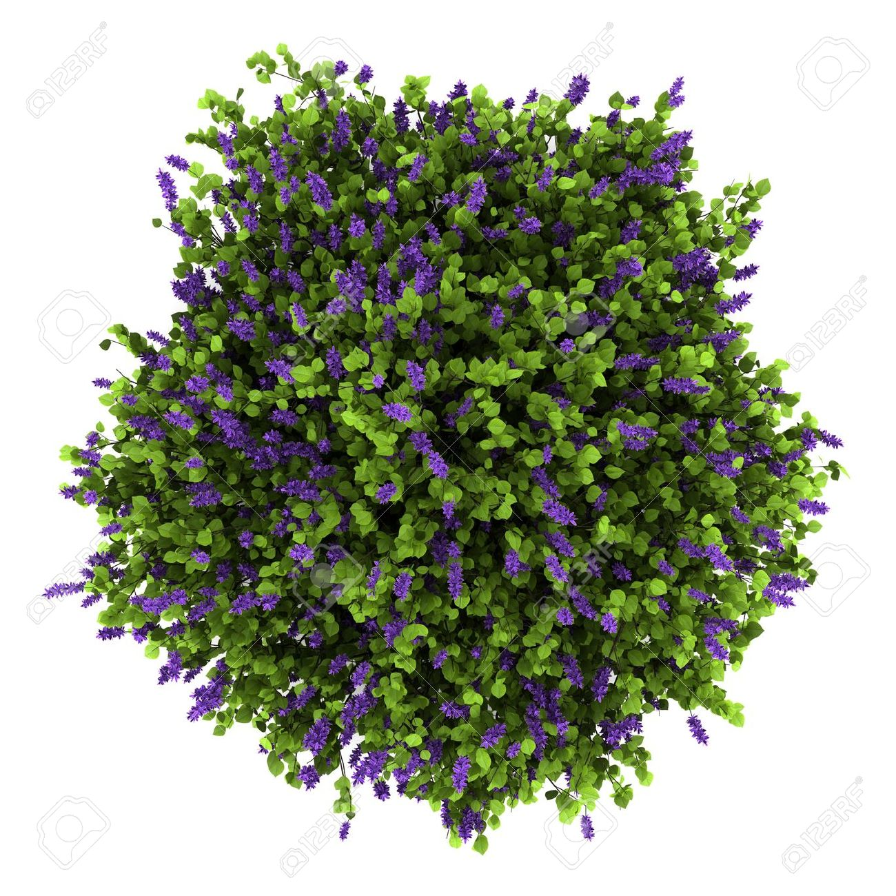Top View Of Lilac Flowers Bush Isolated On White Background Stock