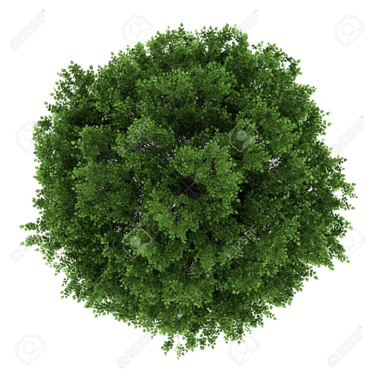 top view of small-leaved lime tree isolated on white background Stock Photo - 14471260
