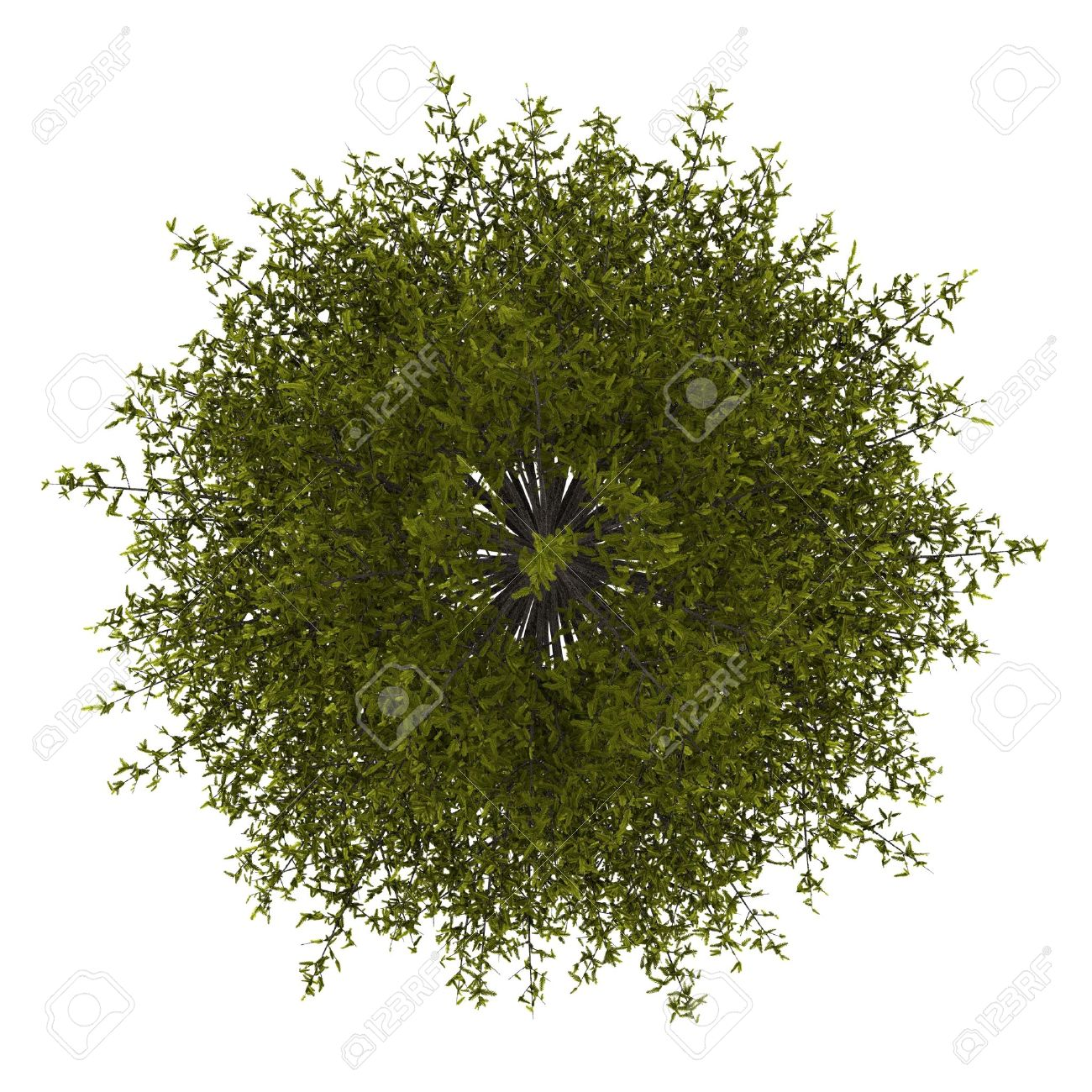 top view of european larch tree isolated on white background Stock Photo - 14512444