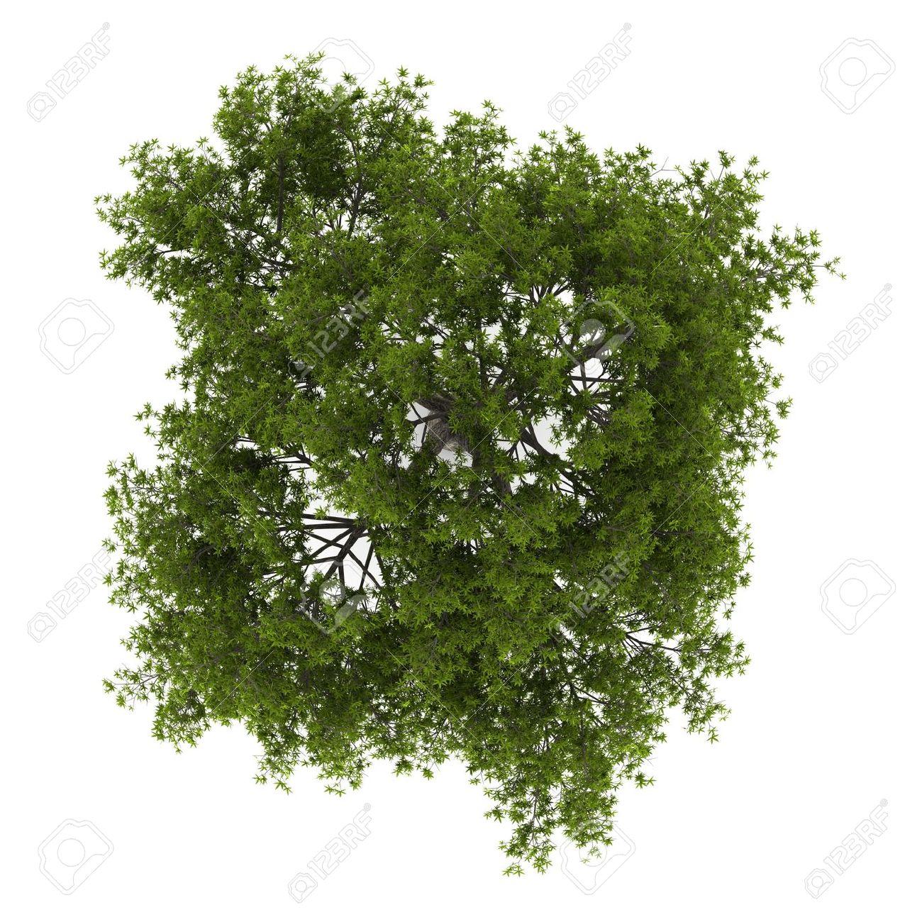 crack willow wood