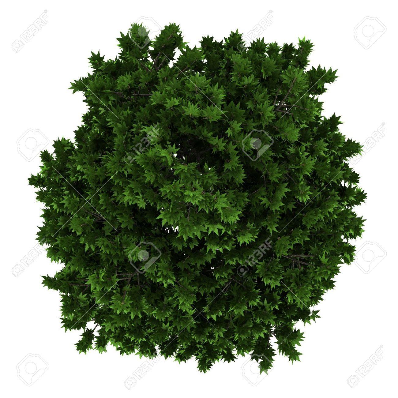 vue de dessus d'arbre platane isolé sur fond blanc banque d'images