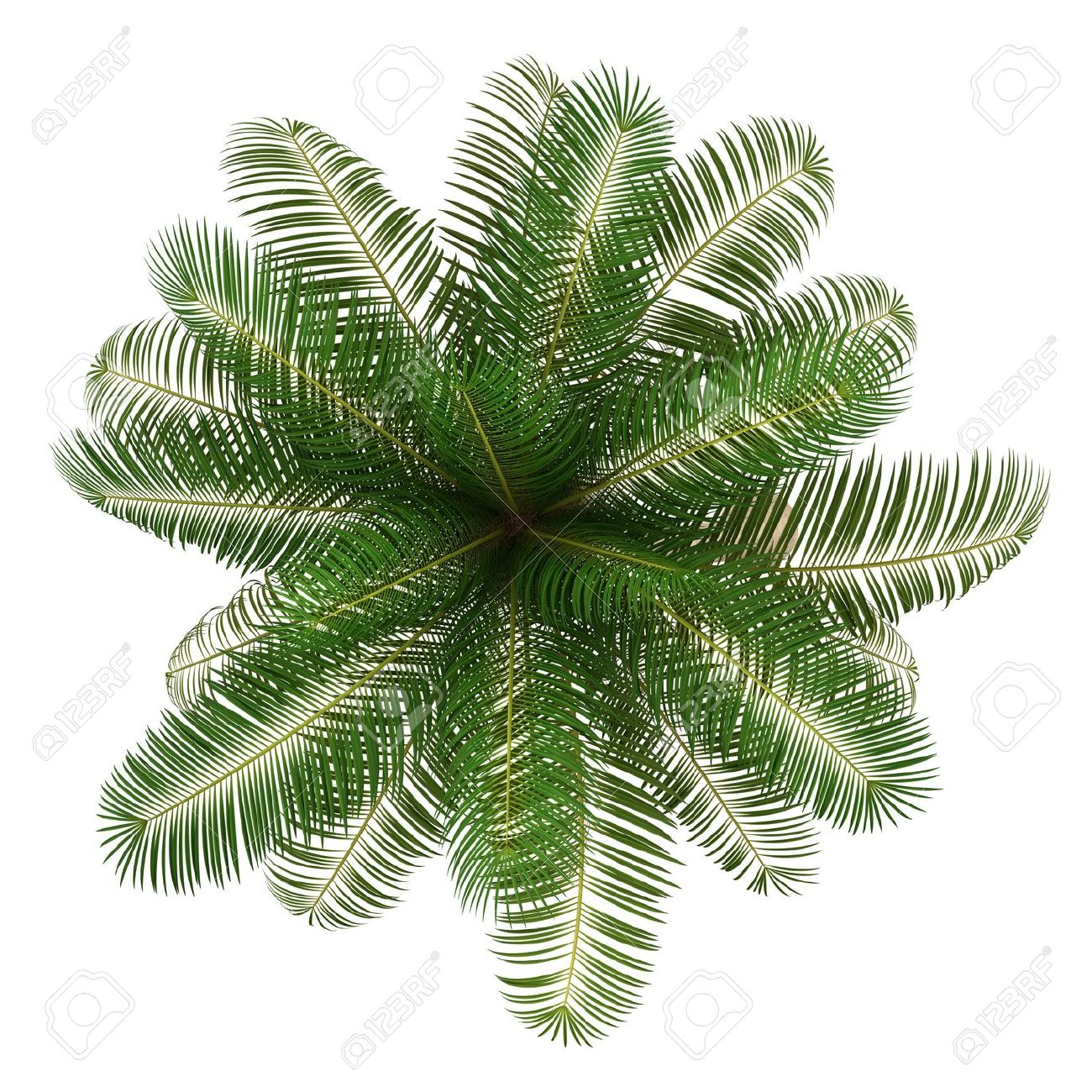 Top View Of Coconut Palm Tree Isolated On White Background Stock ... for Palm Tree Top View Png  570bof