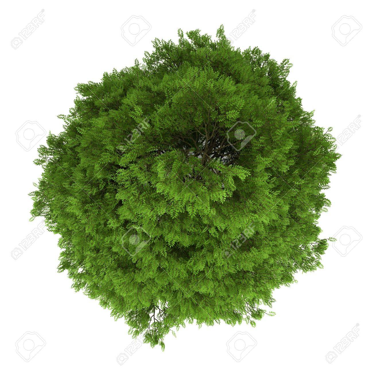 top view of tree of heaven isolated on white background Stock Photo - 15012447