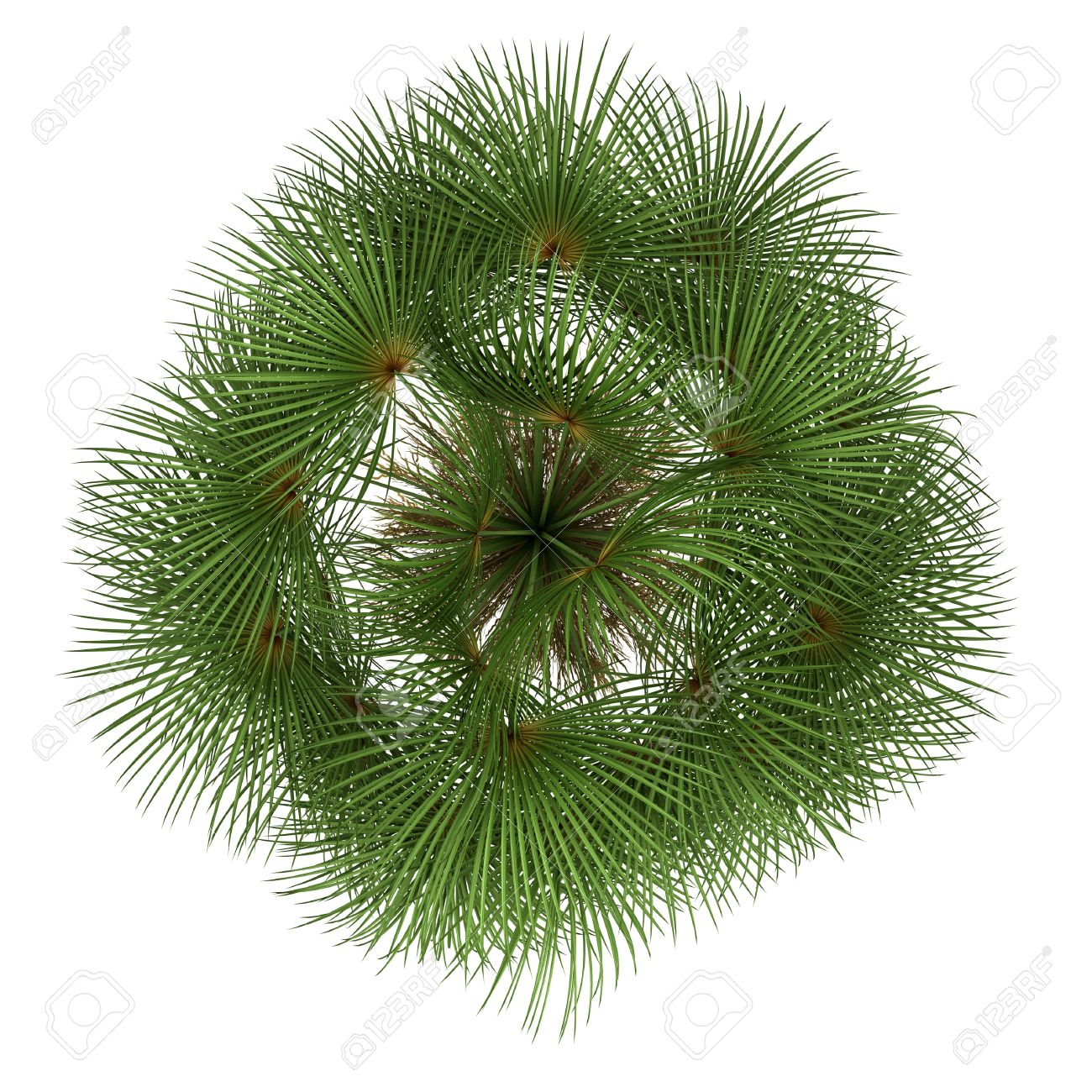 top view of mexican fan palm tree isolated on white background Stock Photo - 15096884
