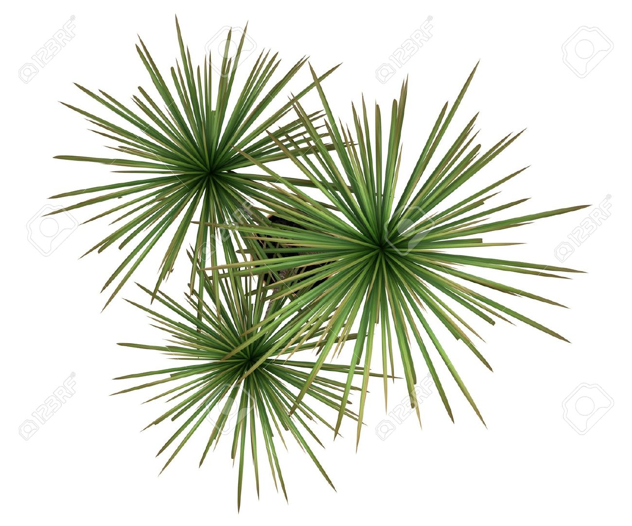 Top View Of Dracaena Plant In Pot Isolated On White Background Stock
