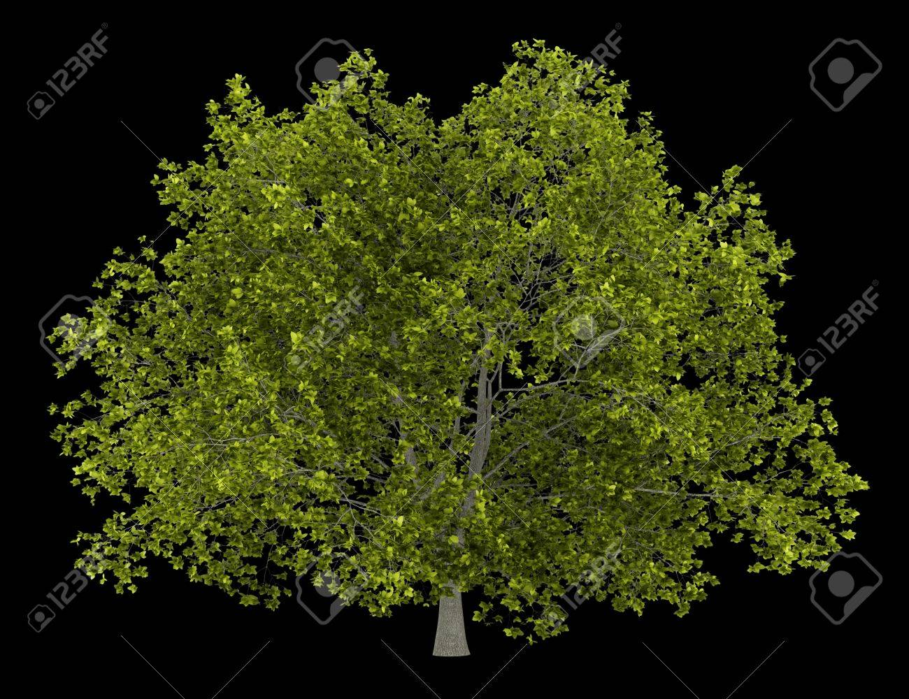 american beech tree isolated on black background Stock Photo - 19719168
