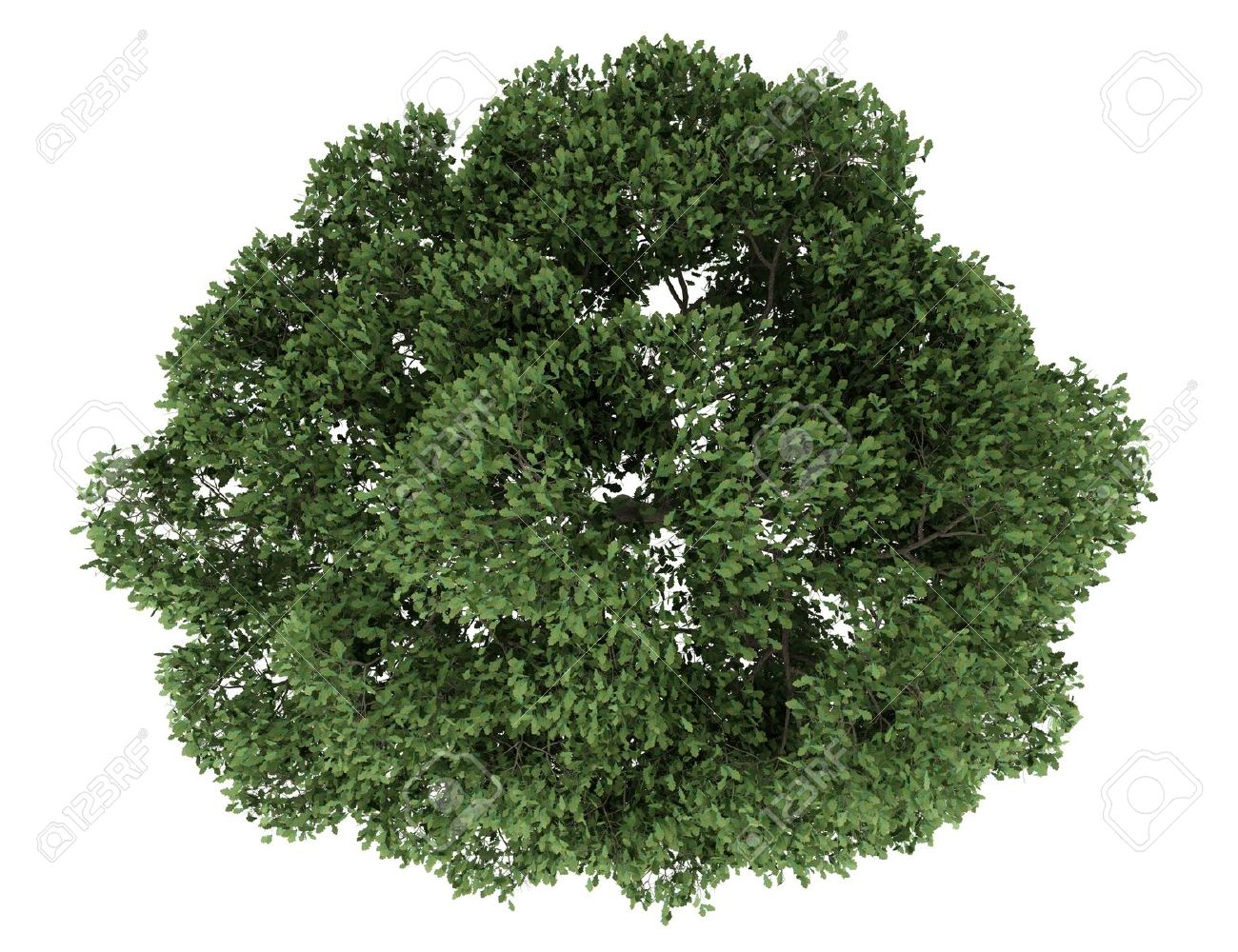 top view of english oak tree isolated on white background Stock Photo - 19910349