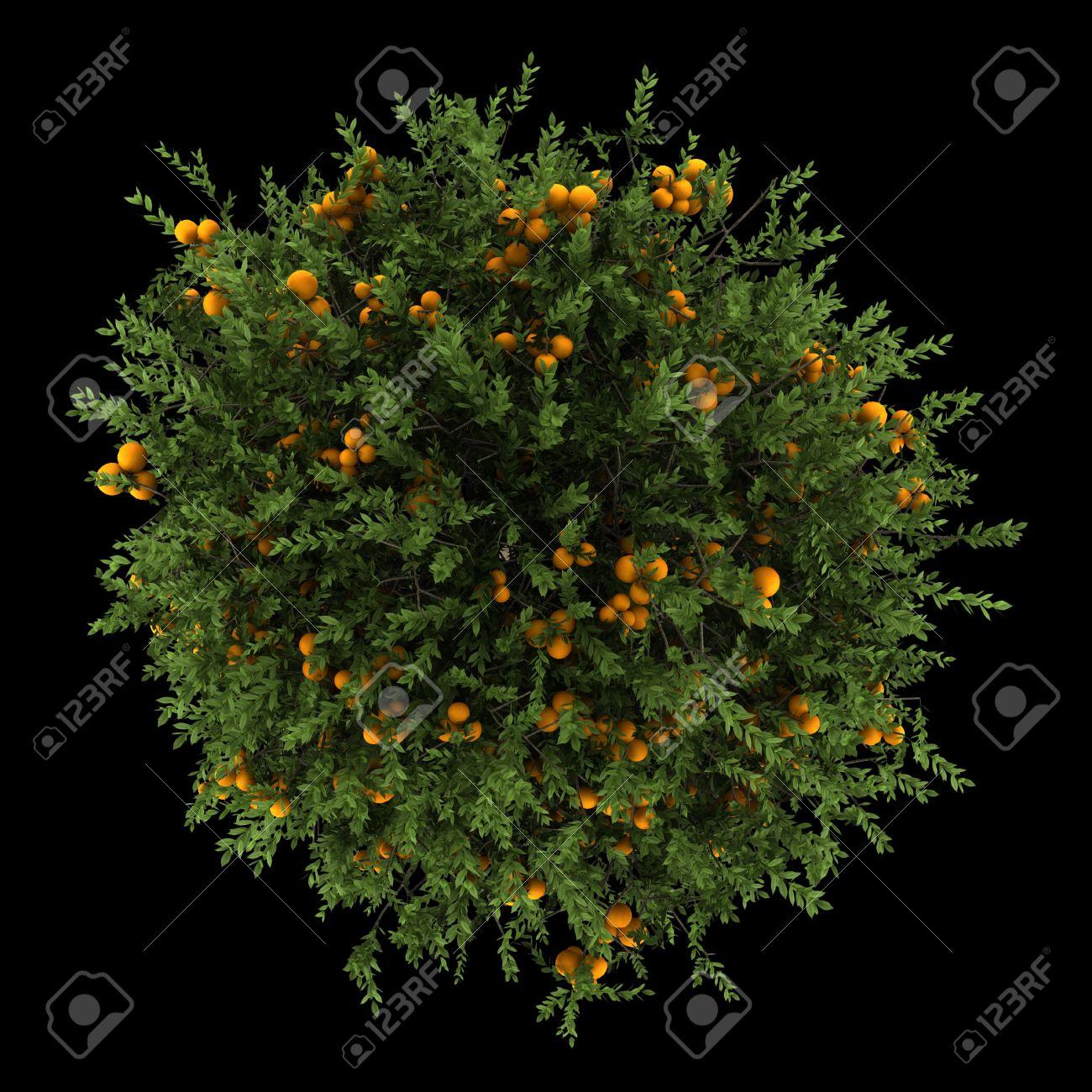 top view of orange tree isolated on black background Stock Photo - 19910411