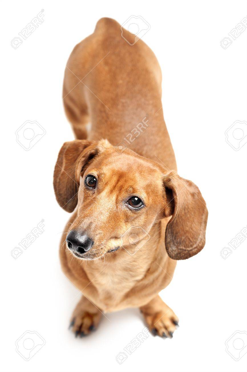 cute brown dachshund dog isolated on white background Stock Photo - 20412495