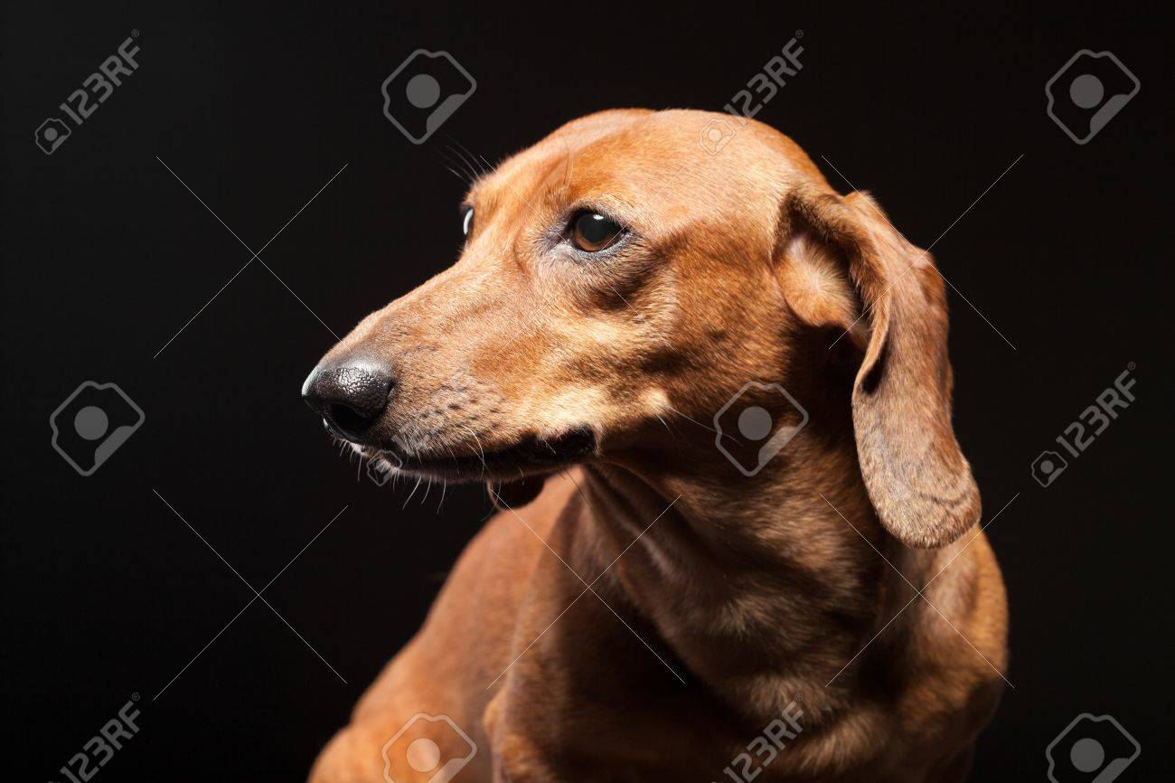 portrait of cute brown dachshund dog isolated on black background Stock Photo - 20597478