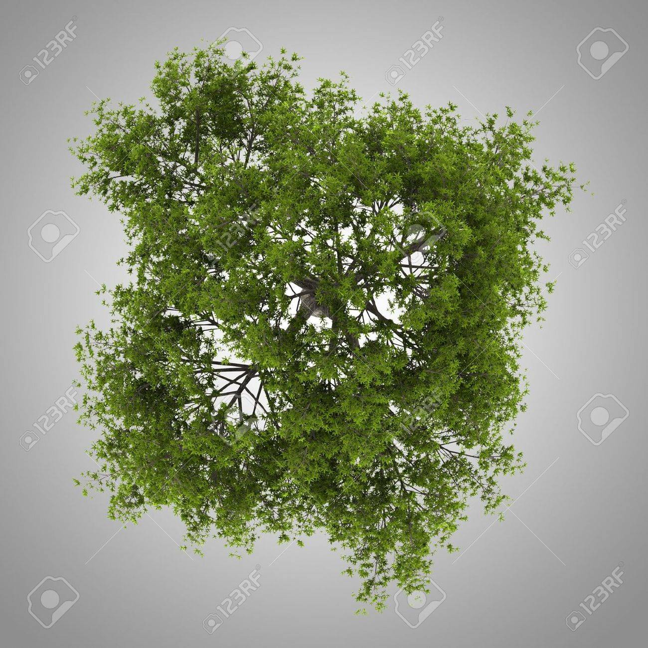 top view of crack willow tree isolated on gray background Stock Photo - 20722772