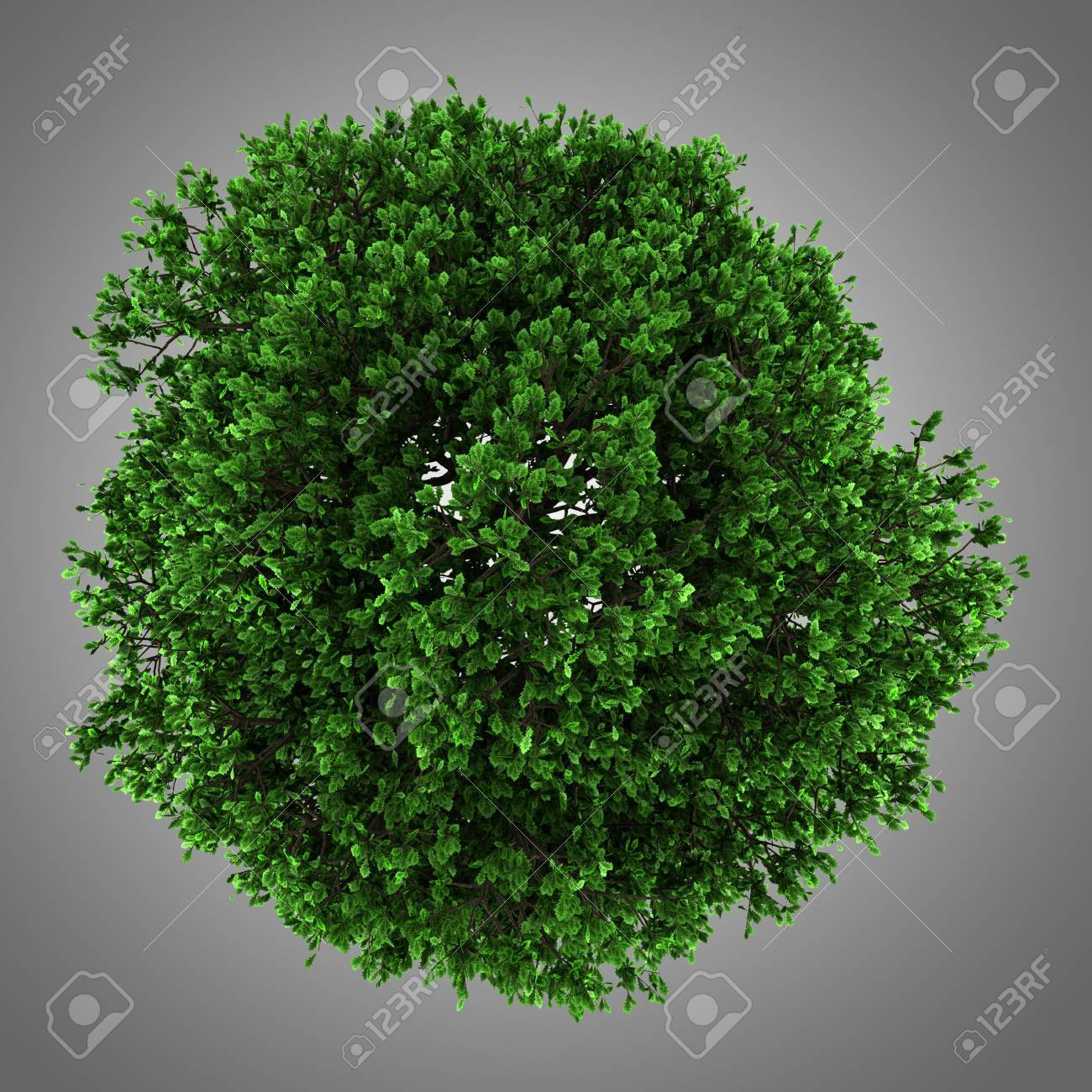 top view of pedunculate oak tree isolated on gray background Stock Photo - 21362269