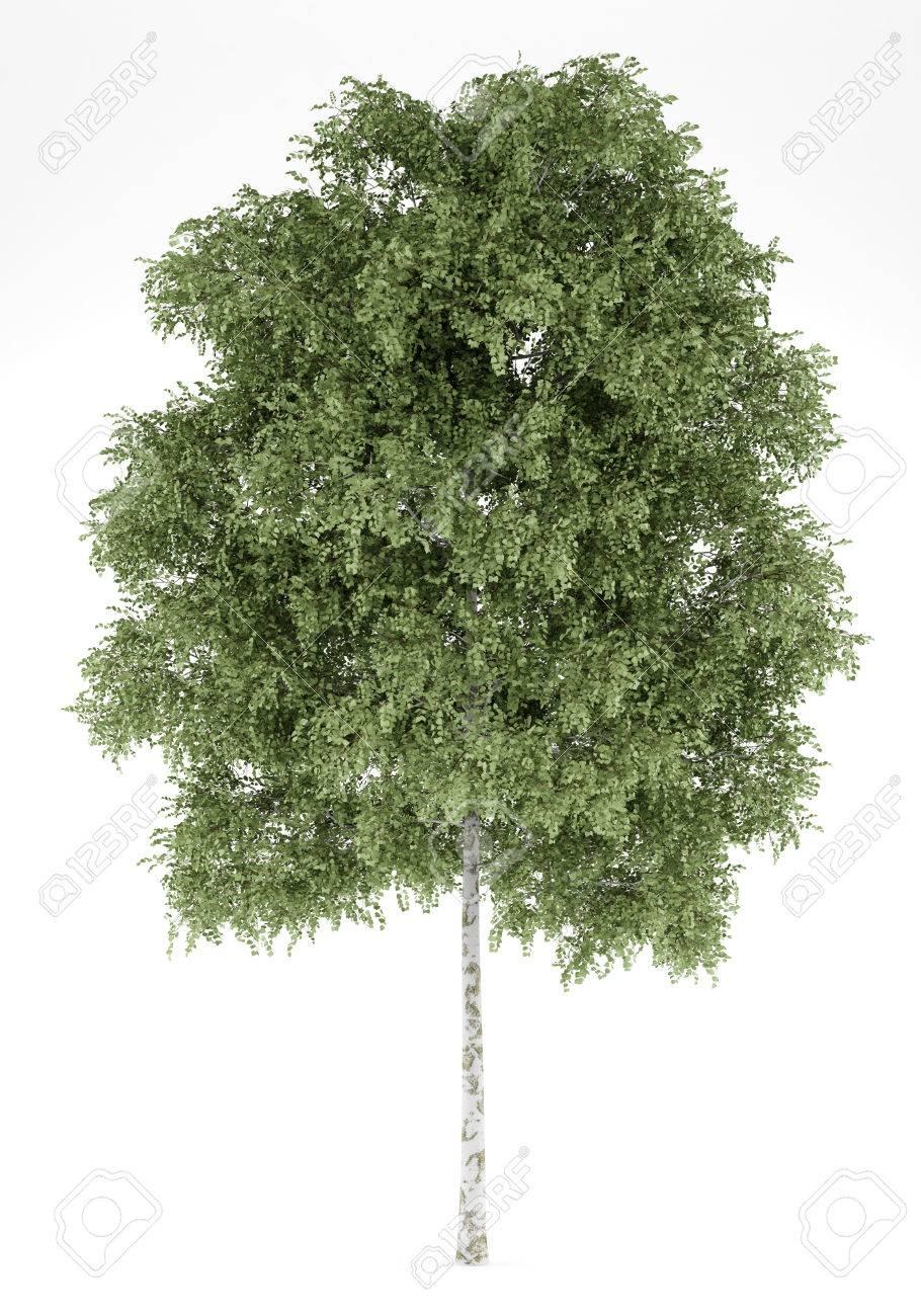 Berkenboom Structuur Royalty-Vrije Foto's, Plaatjes, Beelden En ...