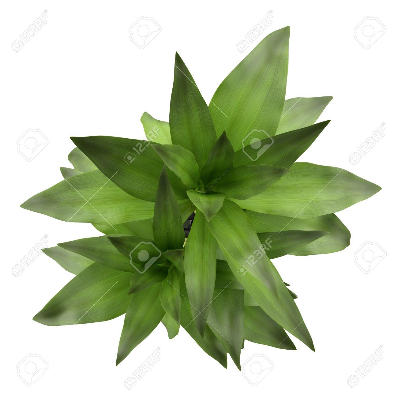 Draufsicht Auf Bambus Pflanze In Der Vase Isoliert Auf Weissem