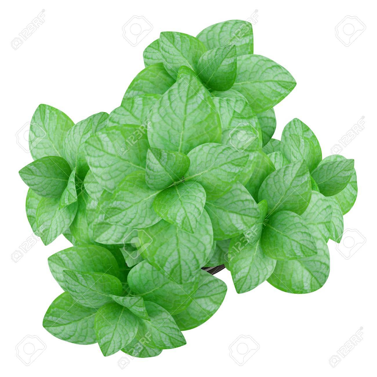 Plant De Menthe En Pot top view of mint plant in pot isolated on white background